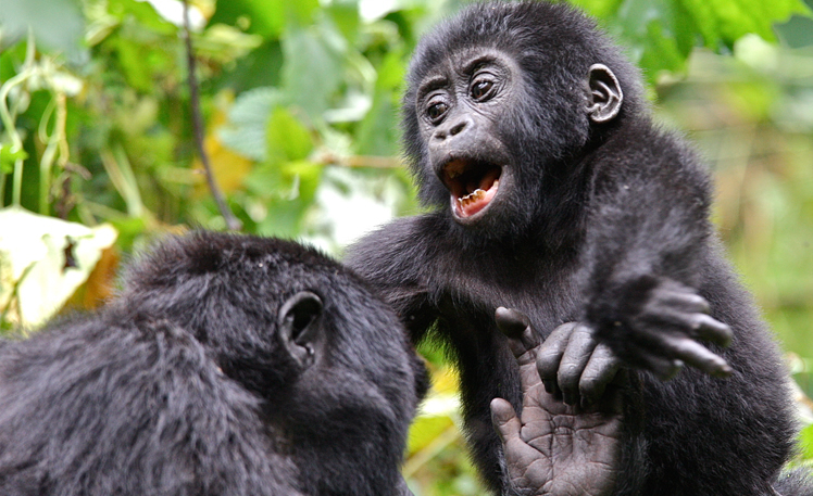 Mountain Gorillas in The Jungle