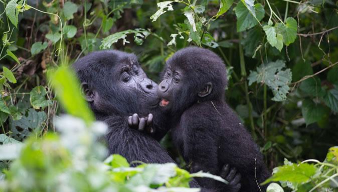 bwindi-gorilla-group