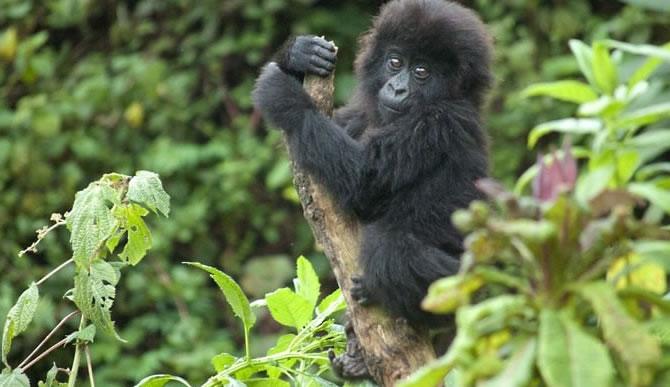 gorilla-expeditions