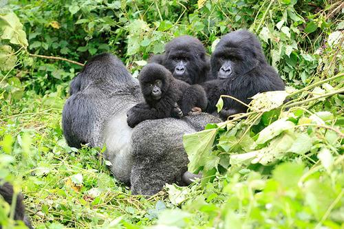 African Gorillas in Volcanoes National Park Rwanda