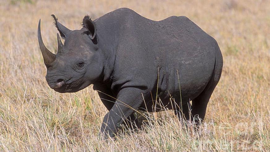 Black Rhino in Akagera National Park Rwanda