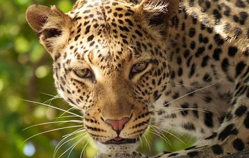 Leopard in Akgera Rwanda