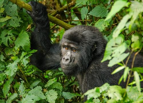 Mountain Gorilla Trekking